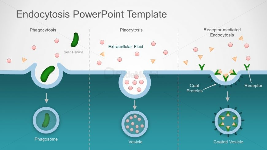 Presentation of Endocytosis Cellular Processes