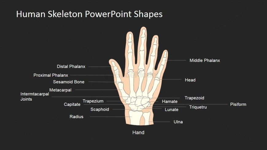 PowerPoint Designs for Anatomy Models