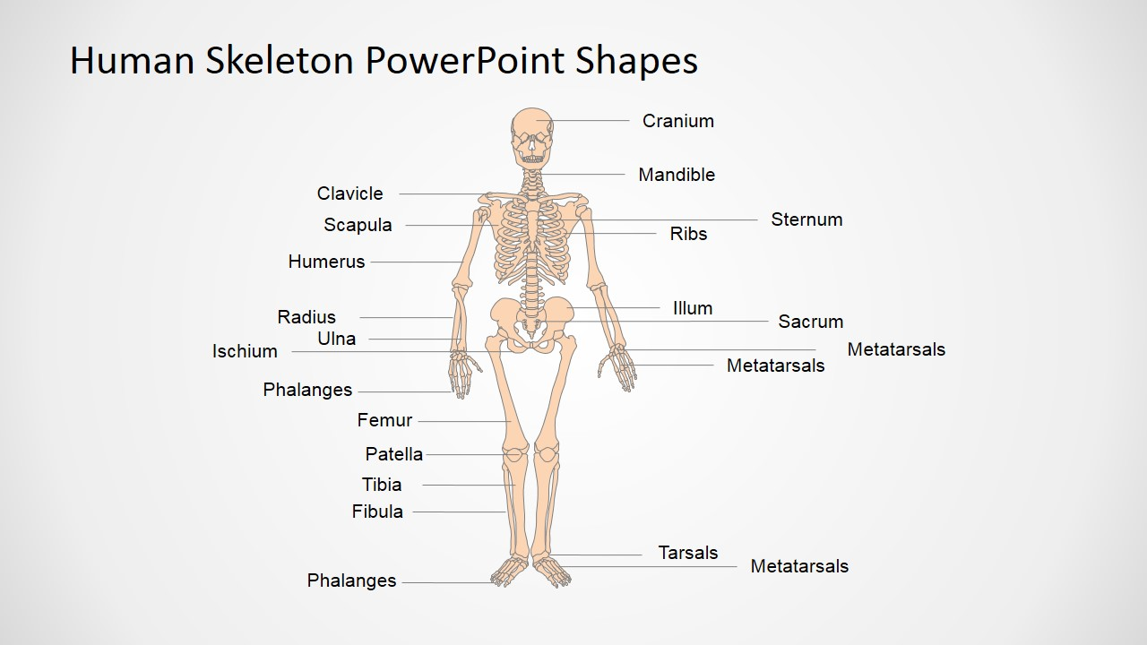 human skeleton powerpoint shapes - slidemodel, Skeleton