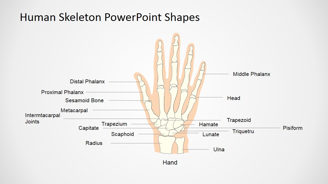 human skeleton presentation template  hand
