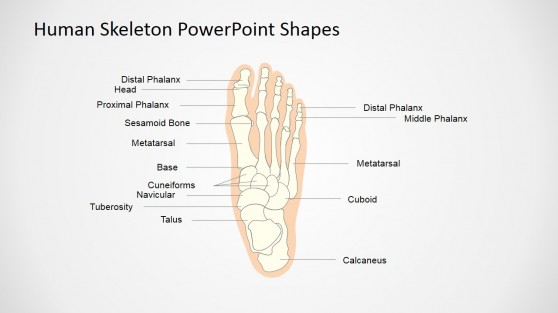 Presentation of Skeletal System for Kids (Foot)