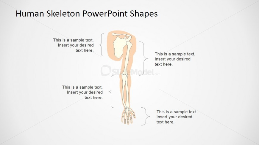 The Human Skeleton Presentation Template Upper Extremity Slidemodel