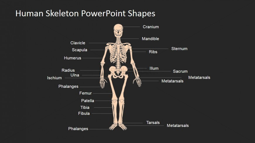 powerpoint slide for the human skeleton - slidemodel, Skeleton