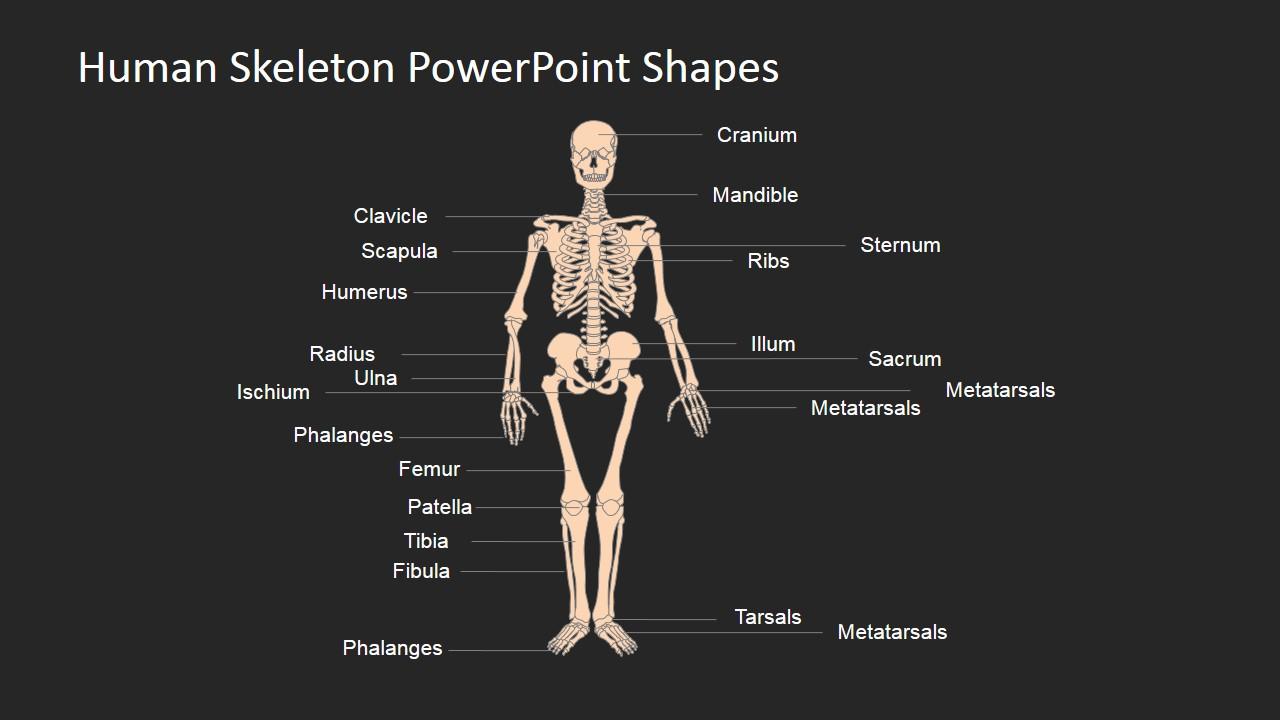 Template Designs for Human Skeleton