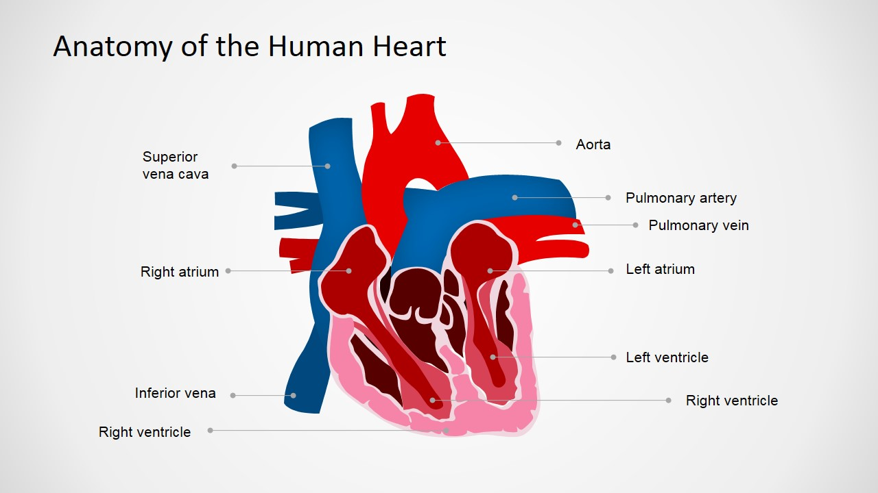Anatomy of the human heart powerpoint shapes slidemodel powerpoint template for anatomy of the heart alramifo Choice Image