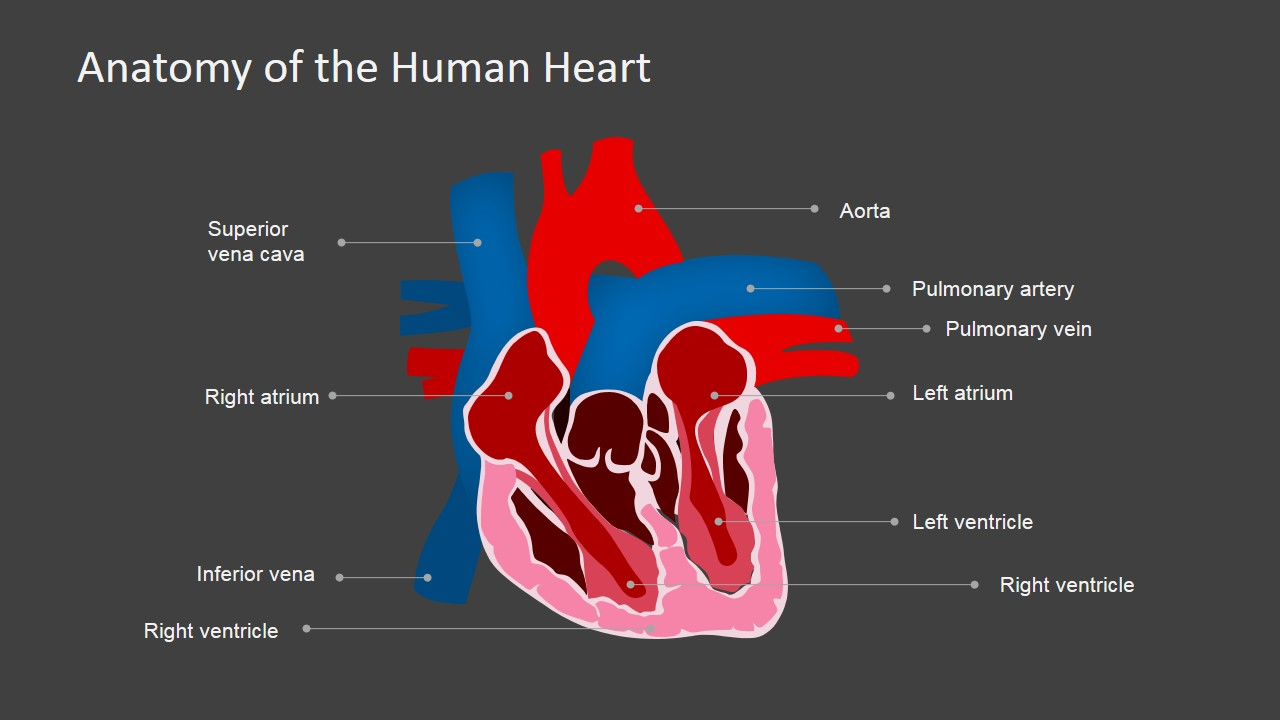 Anatomy Of The Human Heart Powerpoint Shapes Slidemodel