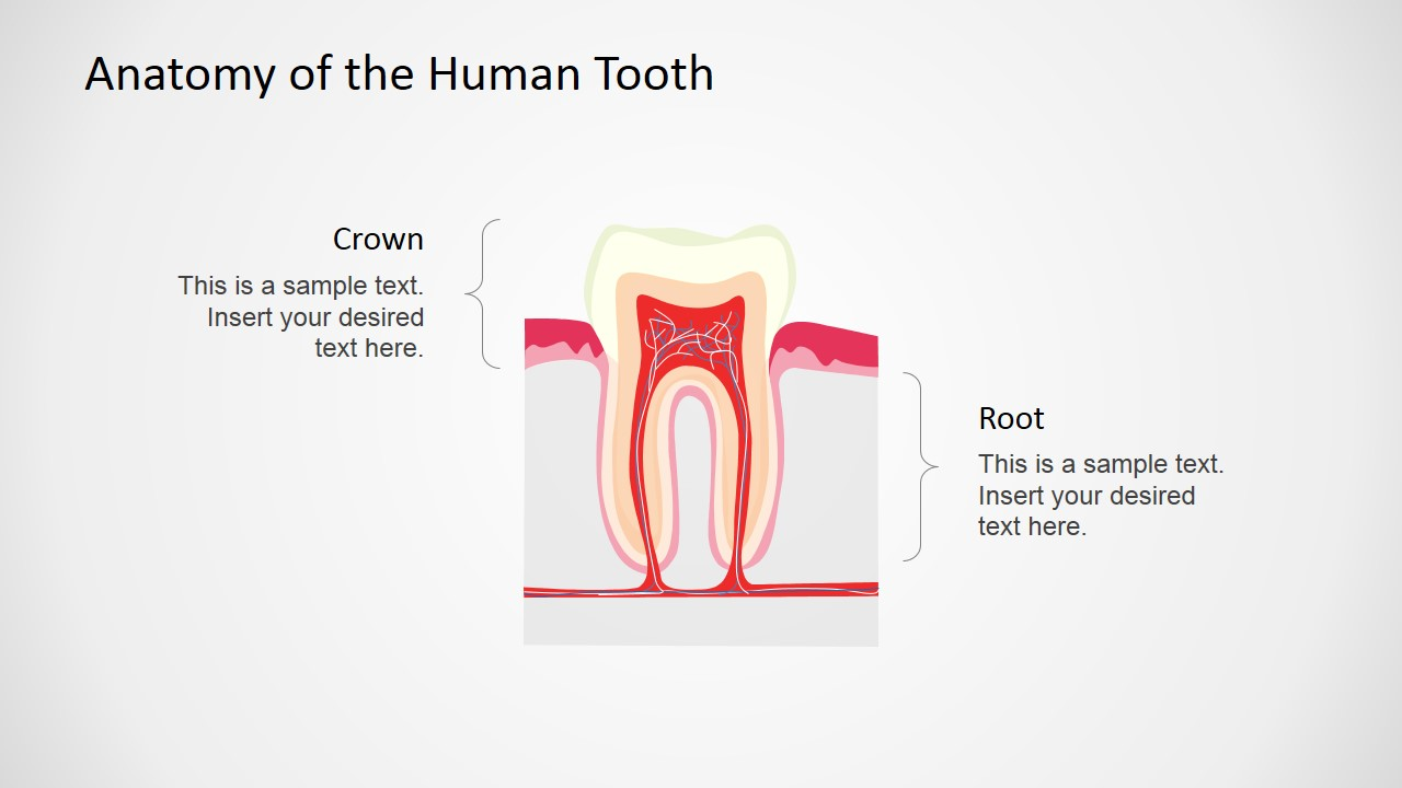 Anatomy Of The Human Tooth Powerpoint Shapes Slidemodel