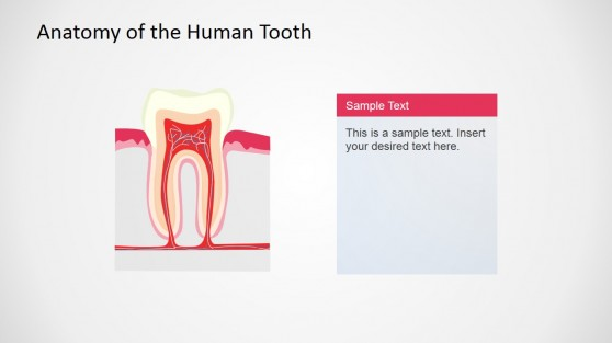 Description of Human Tooth Anatomy Slide Design