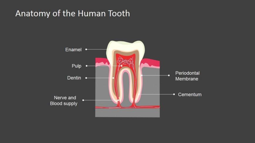 PowerPoint Slide Dark Background Human Tooth Anatomy