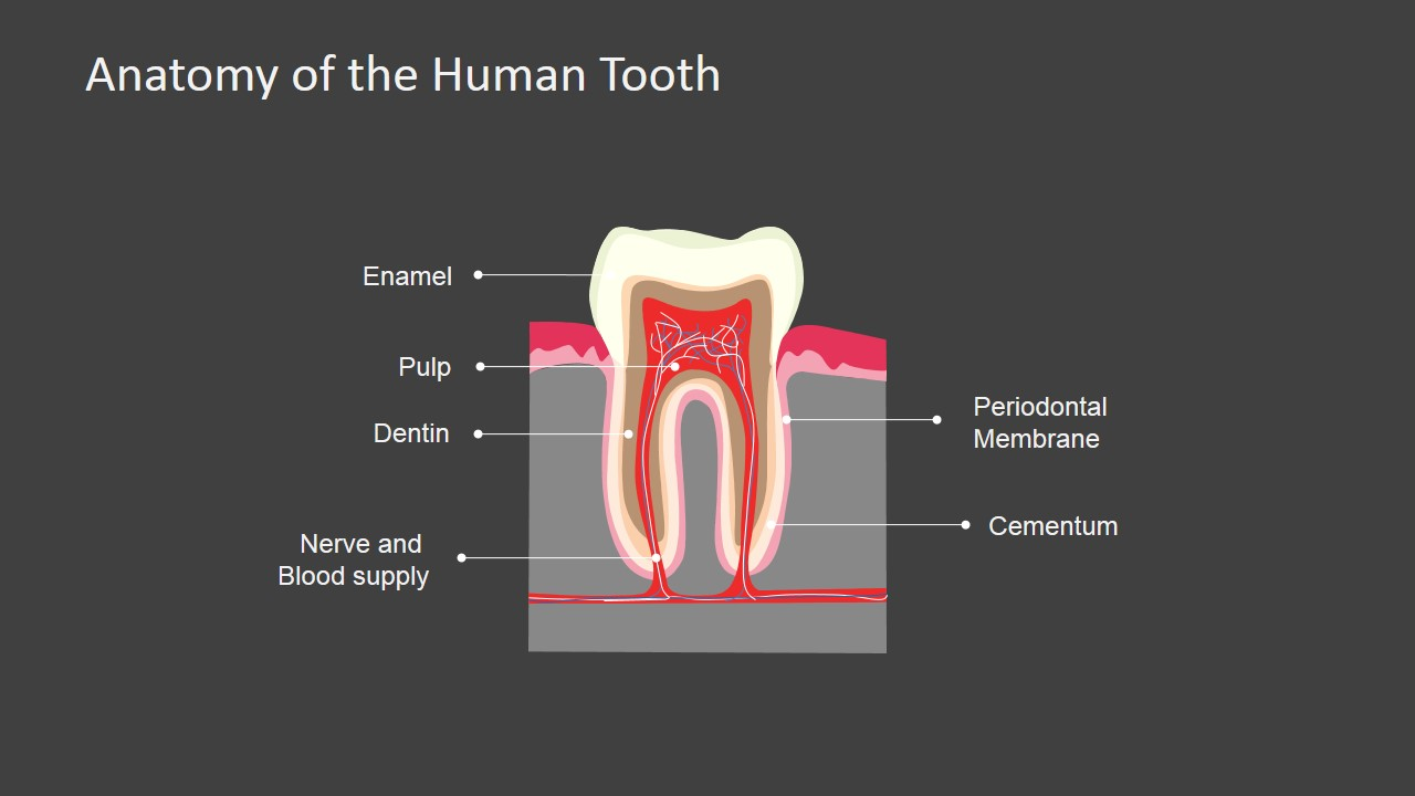 Anatomy of the Human Tooth PowerPoint Shapes - SlideModel