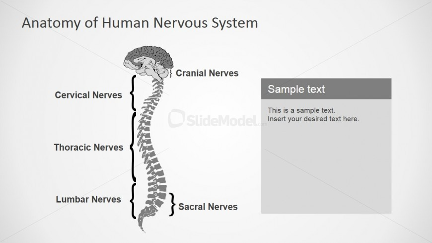 Nervous System Clipart and PowerPoint Icons