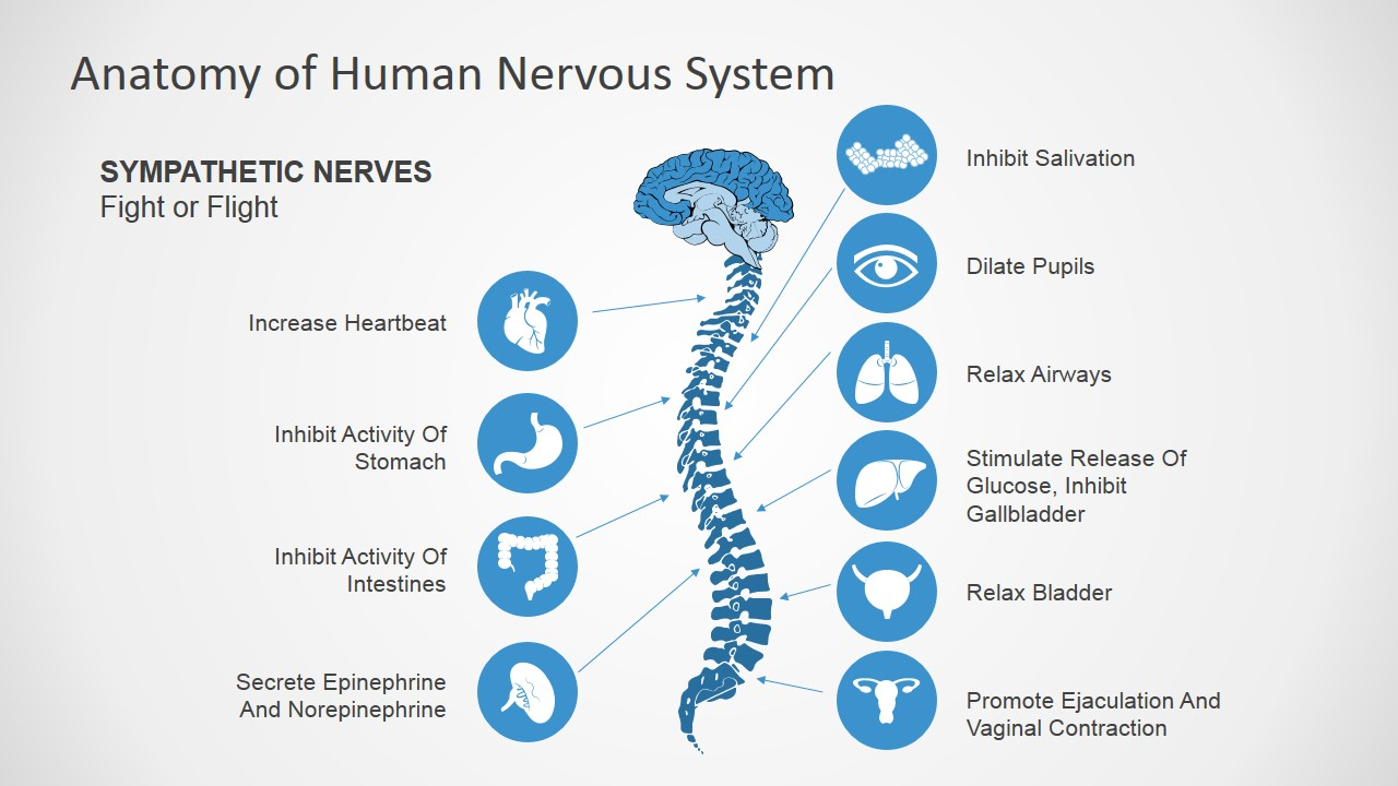 Anatomy Of Human Nervous System Slide Design For Powerpoint Slidemodel