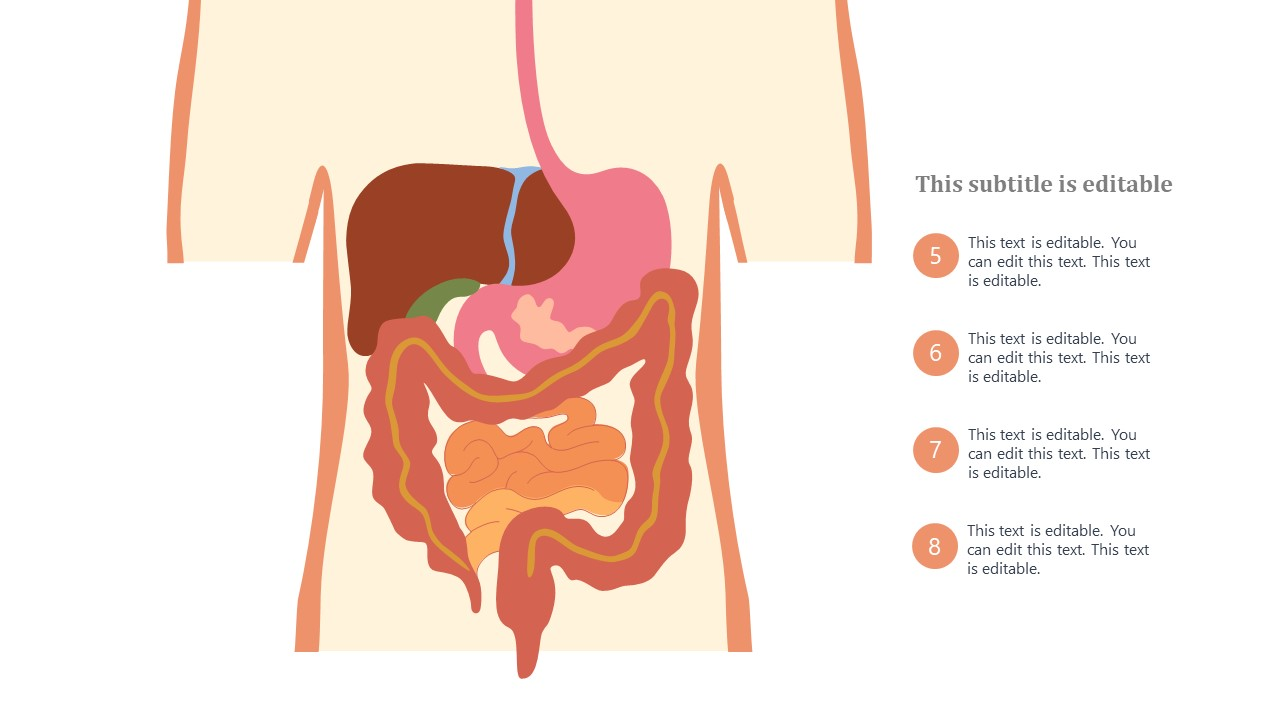 Animated Templates for Digestive System Organs